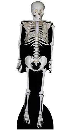 Esqueleto Recorte De Cartón De Tamaño Natural 183 Cm - Pedido Anticipado